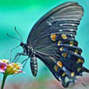 Black Eastern Swallow Tail Art Print