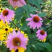 Black Eye Susans And Echinacea Art Print
