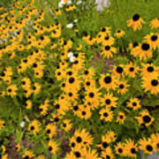 Black Eyed Susans-1 Art Print