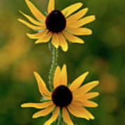 Black Eyed Susans 3276 H_2 Art Print