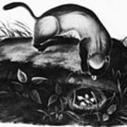 Black-footed Ferret Art Print