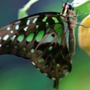 Black Green Tailed Jay 2 Art Print