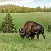 Black Hills Bull Bison Art Print