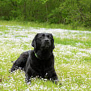 Black Lab Laying In A Field Art Print