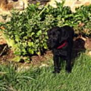 Black Labrador Retriever Puppy Art Print