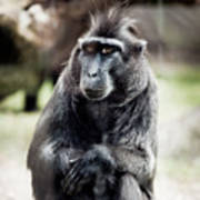 Black Macaque Monkey Sitting Art Print