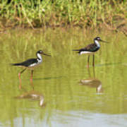 Black Necked Stilt, In The Pond In The Galapagos Art Print