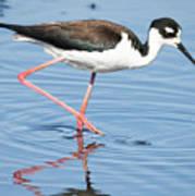 Black-necked Stilt Wading  Art Print