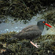 Black Oystercatcher Art Print