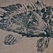 Black Sea Bass - Grouper - Rockfish Art Print