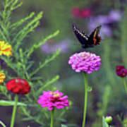 Black Swallowtail Butterfly In August  Art Print
