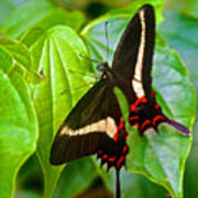 Black Swallowtail Butterfly In Iguazu Falls National Park-brazil  Art Print