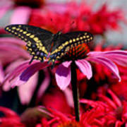 Black Swallowtail Butterfly On Coneflower Square Art Print