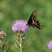 Spicebush Swallowtail Butterfly Art Print