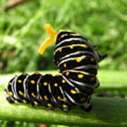 Black Swallowtail Caterpillar Art Print