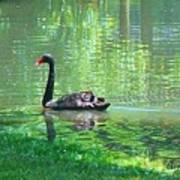 Black Swan Swim In A Pond Art Print