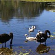 Black Swan's Art Print