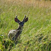 Black-tailed Deer In Tall Meadow Grass Art Print