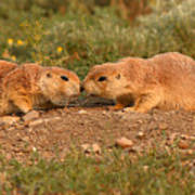 Black-tailed Prairie Dog Greeting Kiss Art Print