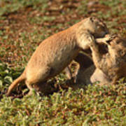 Black-tailed Prairie Dogs Wrestling Around Art Print