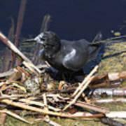 Black Tern On Nest Art Print