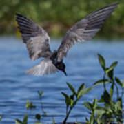 Black Tern Art Print