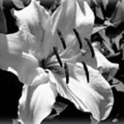 Black White Lilly Art Print by Kip Krause