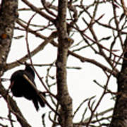 Blackbird In A Tree Art Print