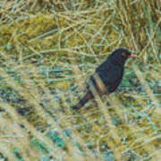 Blackbird In The Undergrowth Art Print