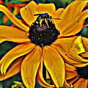 Blackeyed Susan With Bee Art Print
