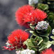 Blazing Blooms Of Ohia Flowers Art Print