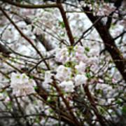 Blooming Apple Blossoms Art Print by Eva Thomas