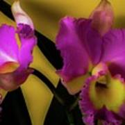 Blooming Cattleya Orchids Art Print