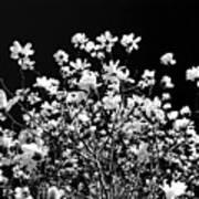 Blooming Magnolia Tree Art Print
