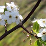Blooming Pear Tree Art Print