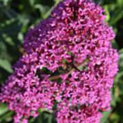 Blooming Pink Phlox Flowers In A Spring Garden Art Print