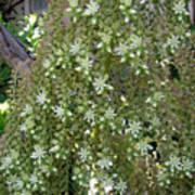 Blooming Succulent Plant. Big And Beautiful Art Print