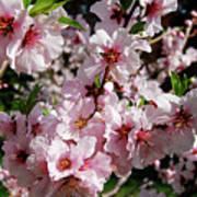 Blossoming Almond Branch Art Print