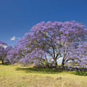 Blossoming Jacaranda Art Print