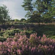 Blossoming Jutlandic Heath  Art Print