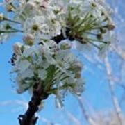 Blossoming Pear Art Print