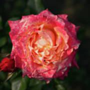 Blossoming Rose Art Print