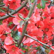 Blossoms Branches And Thorns Art Print