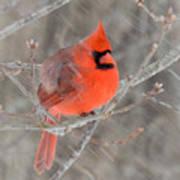 Blowing Snow Cardinal Art Print