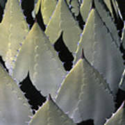 Blue Agave Cactus Art Print