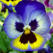 Blue And Yellow Pansy Art Print