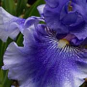 Blue Bearded Iris Art Print