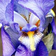 Blue Bearded Iris Art Print