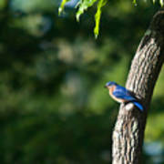 Blue Bird Perched Art Print