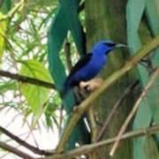 Blue Bird With A Curved Bill Art Print